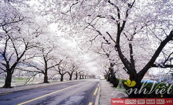 Lễ hội hoa anh đào Hàn Quốc-AnhVietTourist